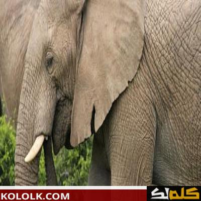 ماذا يأكل الفيل