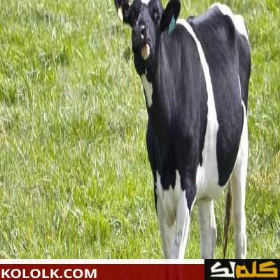 ماذا يغطي جسم البقرة