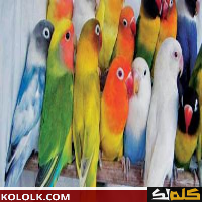 أين تعيش طيور الحب