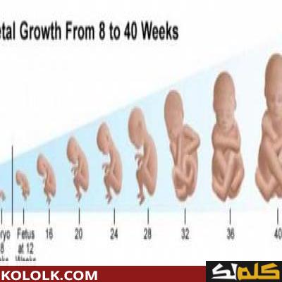 المظهر تعيين الكرة الطائرة مراحل نمو الجنين داخل الرحم بالصور Dsvdedommel Com