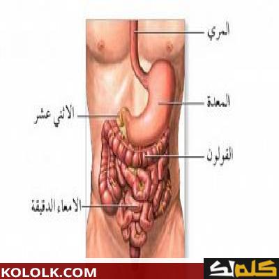 اين تقع وتوجد المعدة في جسم الإنسان