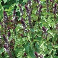 فوائد مهمه نبات الريحان للشعر والبشرة