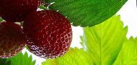 ما هى فوائد أوراق الفراولة