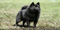 معلومات عن كلاب بارجي
