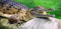 ماذا يغطي جسم التمساح
