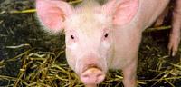 ماذا يأكل الخنزير