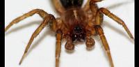 كيف يتنفس العنكبوت