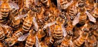 طريقة تربية النحل اليمني