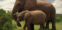 ما إسم انثى الفيل