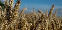 ما معنى الحنطة