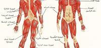 تعرف ما هو عدد عضلات جسم الانسان