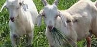 ماذا يسمى صغير الماعز